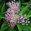 Swamp milkweed (Asclepias incarnata) flower