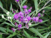 New York ironweed (Vernonia noveboracensis)