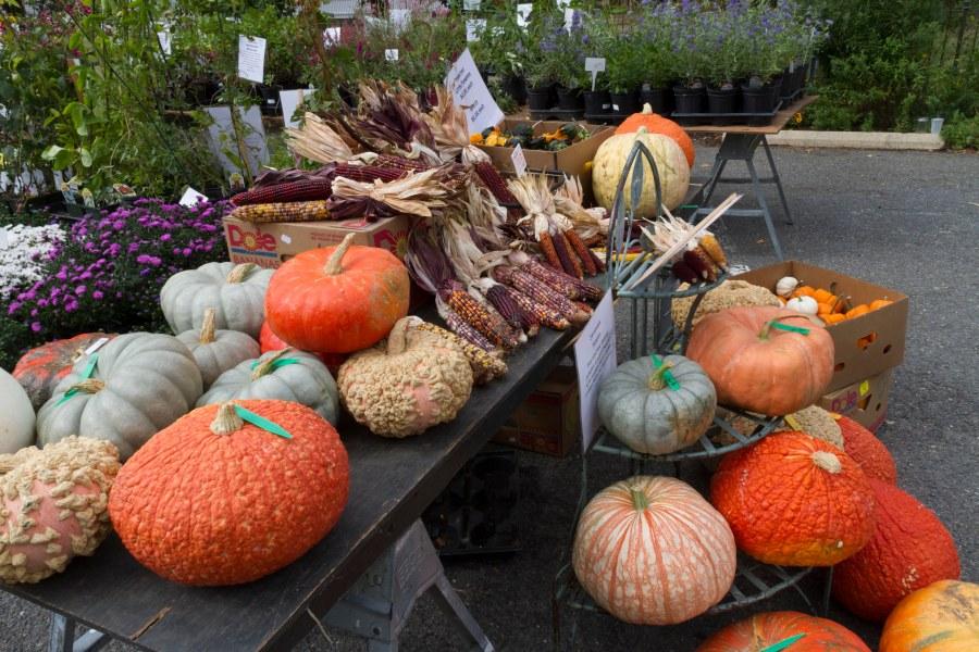 Pumpkins at Autumnfest