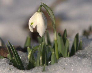 Snow drop (Galanthus nivalis) rising through icy crystals