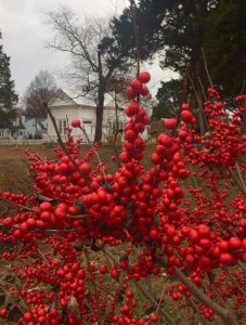 Winterberry in December