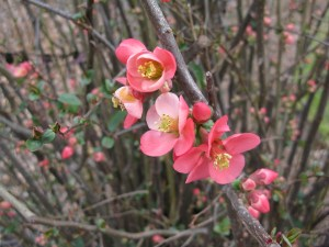 Flowering Quince ( Chaenomeles speciosa) close-up