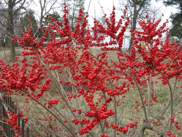 'Red Sprite', the female Winterberry Holly (Ilex verticillata)