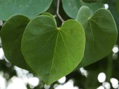 Cercis canadensis leaves in July.