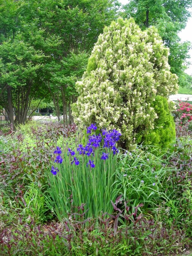 Deep blue Iris sibirica