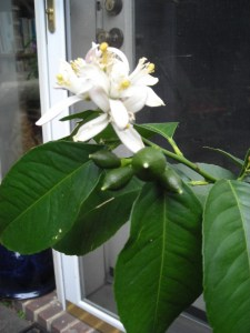 Plant outdoors in April 2017 in renewed bloom and setting fruit – more than 2 dozen little lemons as of the first week in May.