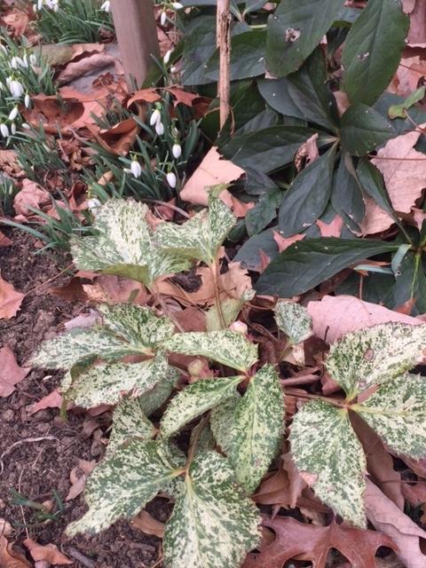 Helleborus snow fever