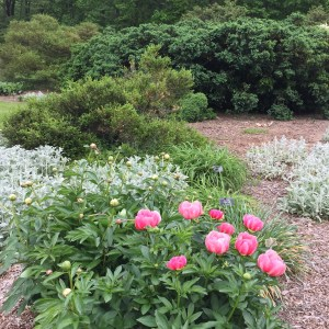 Peonies in the perennial garden with boxwood shrubs beyond