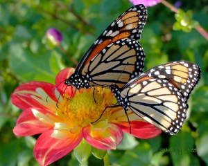Monarchs stop to feed on a collarette dahlia late season along their migration path to Mexico