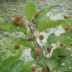 Close-up of Buttonbush