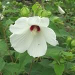 Swamp rose-mallow (Hibiscus moscheutos)