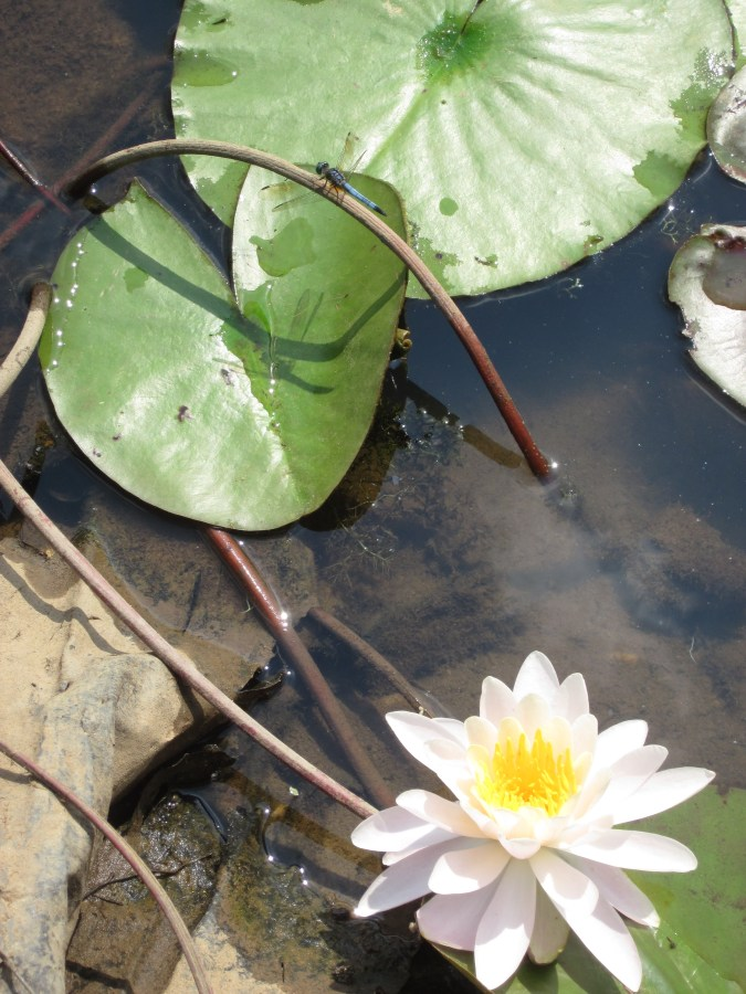 Dragonfly and water lilies