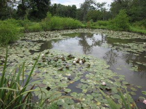 Late-blooming water lilies