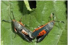 Squash Vine Bugs