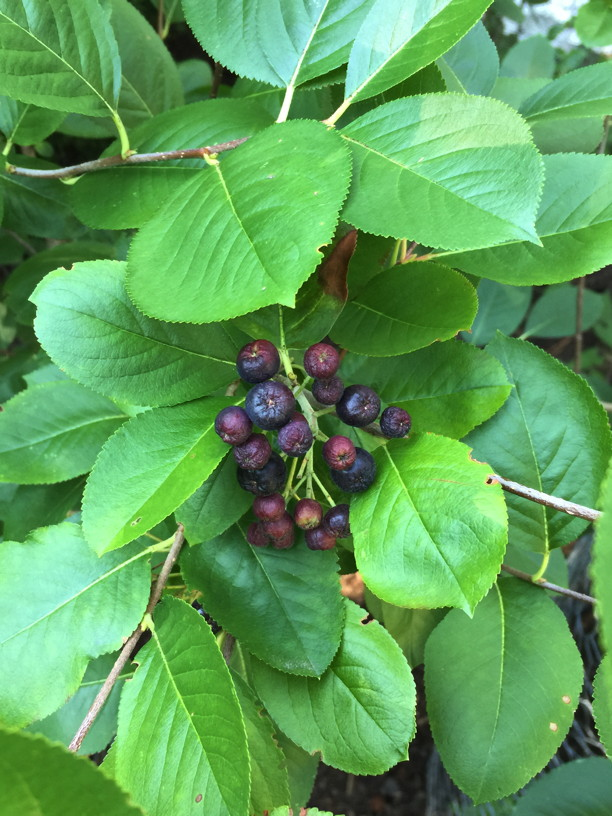Aronia melanocarpa (Black Chokeberry) fruit in July. Photo © 2017 Elaine Mills