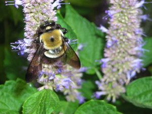 Bumblebee on Blue Agastache