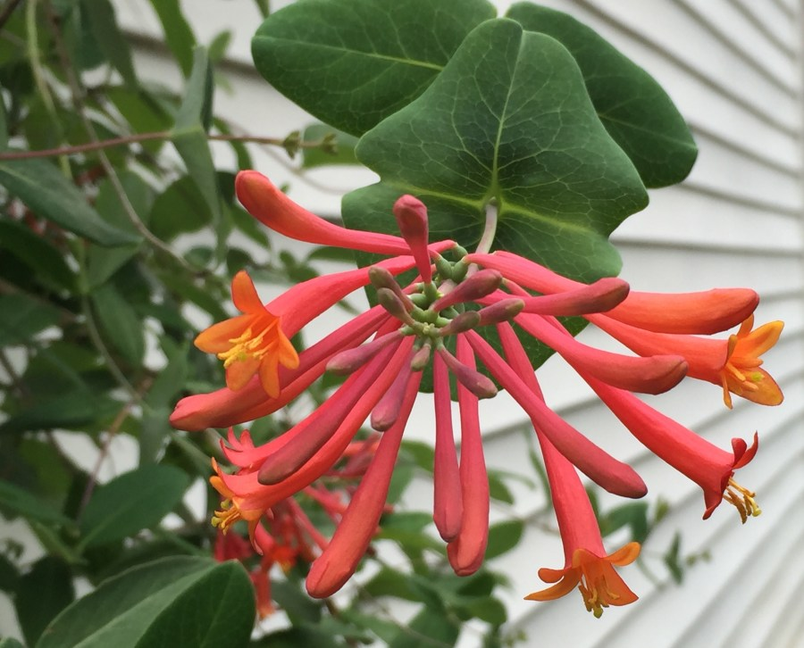 Trumpet honeysuckle can bloom intermittently until frost.