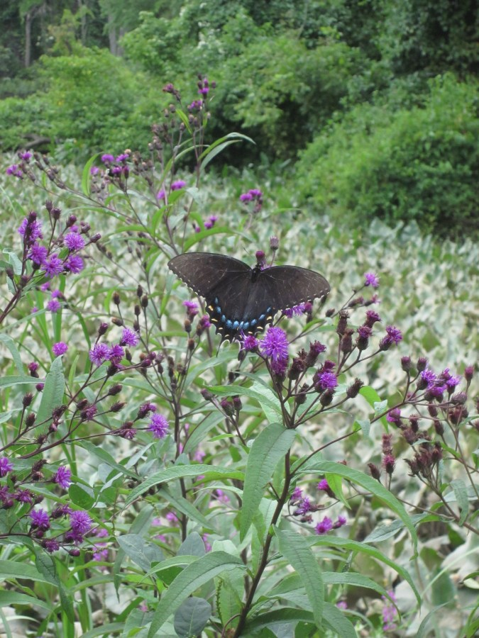 The lovely purple flowers of New York Ironweed offer nectar to butterflies in late summer.