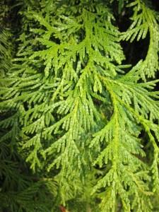 Thuja occidentalis - foliage detail