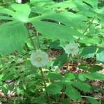 Mayapple flowers