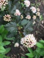 Physocarpus opulifolius (ninebark) Diabolo flowers in May.