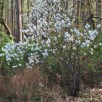 Amelanchier arborea (Downy Serviceberry) shrub form in April.Photo © Elaine Mills