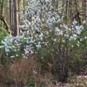 Amelanchier arborea, (Downy Serviceberry) in April.Photo © Elaine Mills