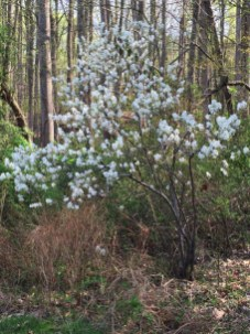 Amelanchier arborea (Downy Serviceberry) shrub form in April.Photo © Elaine Mills