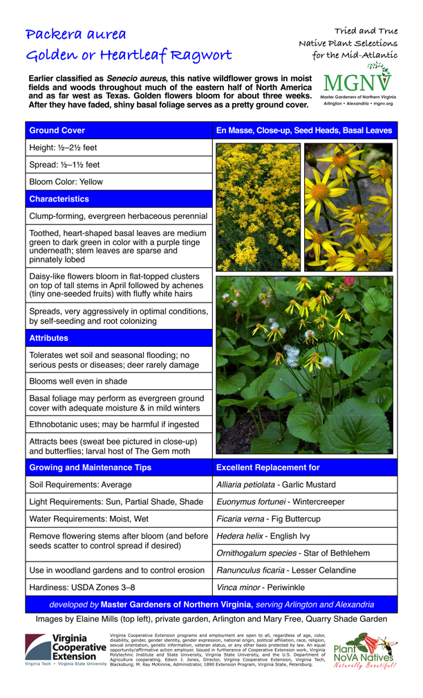 Packera aurea, Golden or Hearleaf Ragwort, Ground Cover Height: 1⁄2–21⁄2 feet Spread: 1⁄2–11⁄2 feet Bloom Color: Yellow Characteristics Clump-forming, evergreen herbaceous perennial Toothed, heart-shaped basal leaves are medium green to dark green in color with a purple tinge underneath; stem leaves are sparse and pinnately lobed Daisy-like flowers bloom in flat-topped clusters on top of tall stems in April followed by achenes (tiny one-seeded fruits) with fluffy white hairs Spreads, very aggressively in optimal conditions, by self-seeding and root colonizing Attributes Tolerates wet soil and seasonal flooding; no serious pests or diseases; deer rarely damage Blooms well even in shade Basal foliage may perform as evergreen ground cover with adequate moisture & in mild winters Ethnobotanic uses; may be harmful if ingested Attracts bees, butterflies; larval host of The Gem moth Growing and Maintenance Tips Soil Requirements: Average Light Requirements: Sun, Partial Shade, Shade Water Requirements: Moist, Wet Remove flowering stems after bloom (and before seeds scatter to control spread if desired) Use in woodland gardens and to control erosion Hardiness: USDA Zones 3–8 Excellent Replacement for Alliaria petiolata - Garlic Mustard Euonymus fortunei - Wintercreeper Ficaria verna - Fig Buttercup Hedera helix - English Ivy Ornithogalum species - Star of Bethlehem Ranunculus ficaria - Lesser Celandine Vinca minor – Periwinkle
