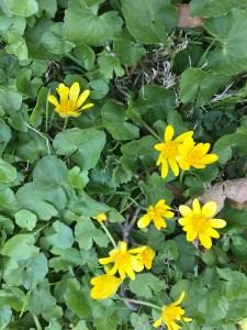 Thick carpet of Ranunculus ficaria (lesser celandine)