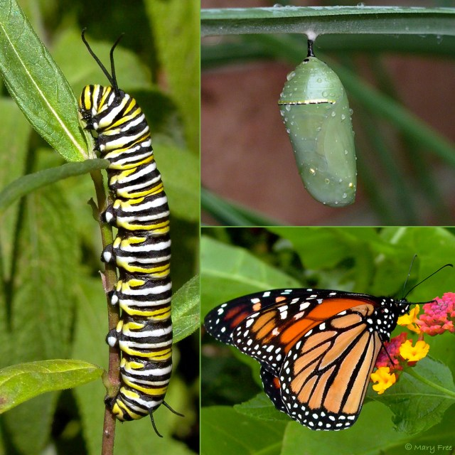A mMonarch caterpillar eats the leaves of Asclepias tuberosa and a chrysalis develops at the the Glencarlyn Library Community Garden in Arlington. An adult mMonarch feeds on lLantana at Simpson Gardens in Alexandria. Learn more about the butterfly life cycle, host plants preferred by specific butterfly species, and types of nectar plants that attract butterflies in Creating Inviting Habitats. © Mary Free