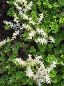 Sedum ternatum, Wild Stonecrop