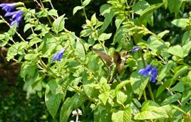 This ruby-throated hummingbird feeds on salvia late in the season in the Sunny Garden at Bon Air Park in Arlington. See Creating Inviting Habitats for a picture chart of Flowers that Attract Hummingbirds during the spring, summer, and fall. © Mary Free