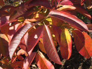 Fall foliage of Oxydendrum arboreum (Sourwood)