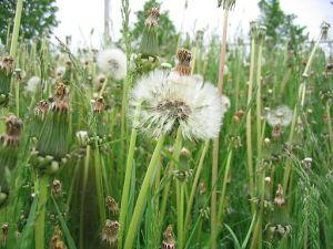 Weeds in Waterloo, Ontario