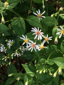 Eurybia divaricata (White Wood Aster) flowers