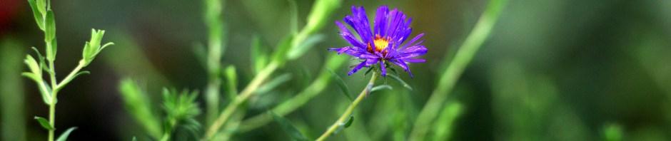 Symphyotrichum novae-angliae(New England Aster)