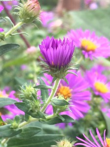 Symphyotrichum novae-angliae(New England Aster) close-up fo flowers and buds.
