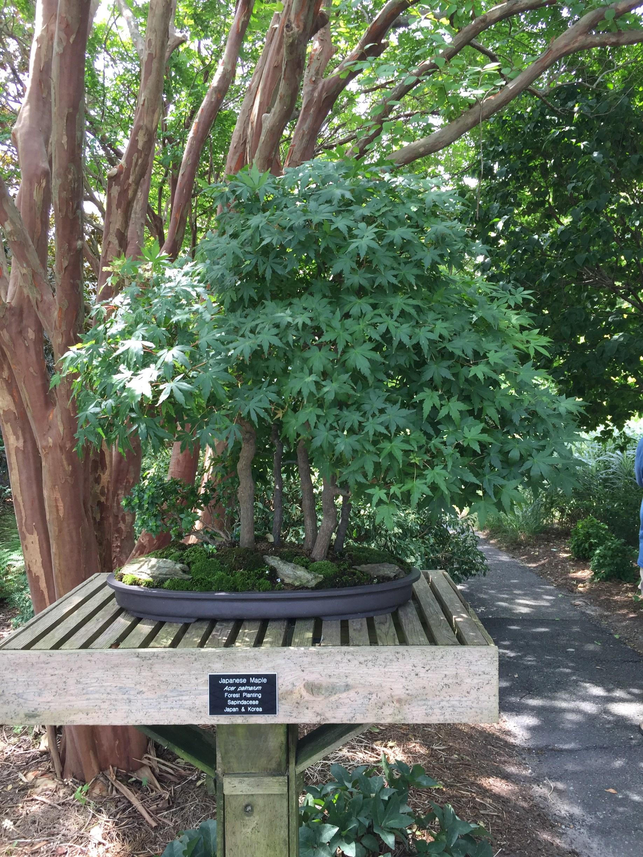 Individual bonsai plants are showcased on pedestals throughout the Japanese Garden. Photo © 2018 Elaine Mills.