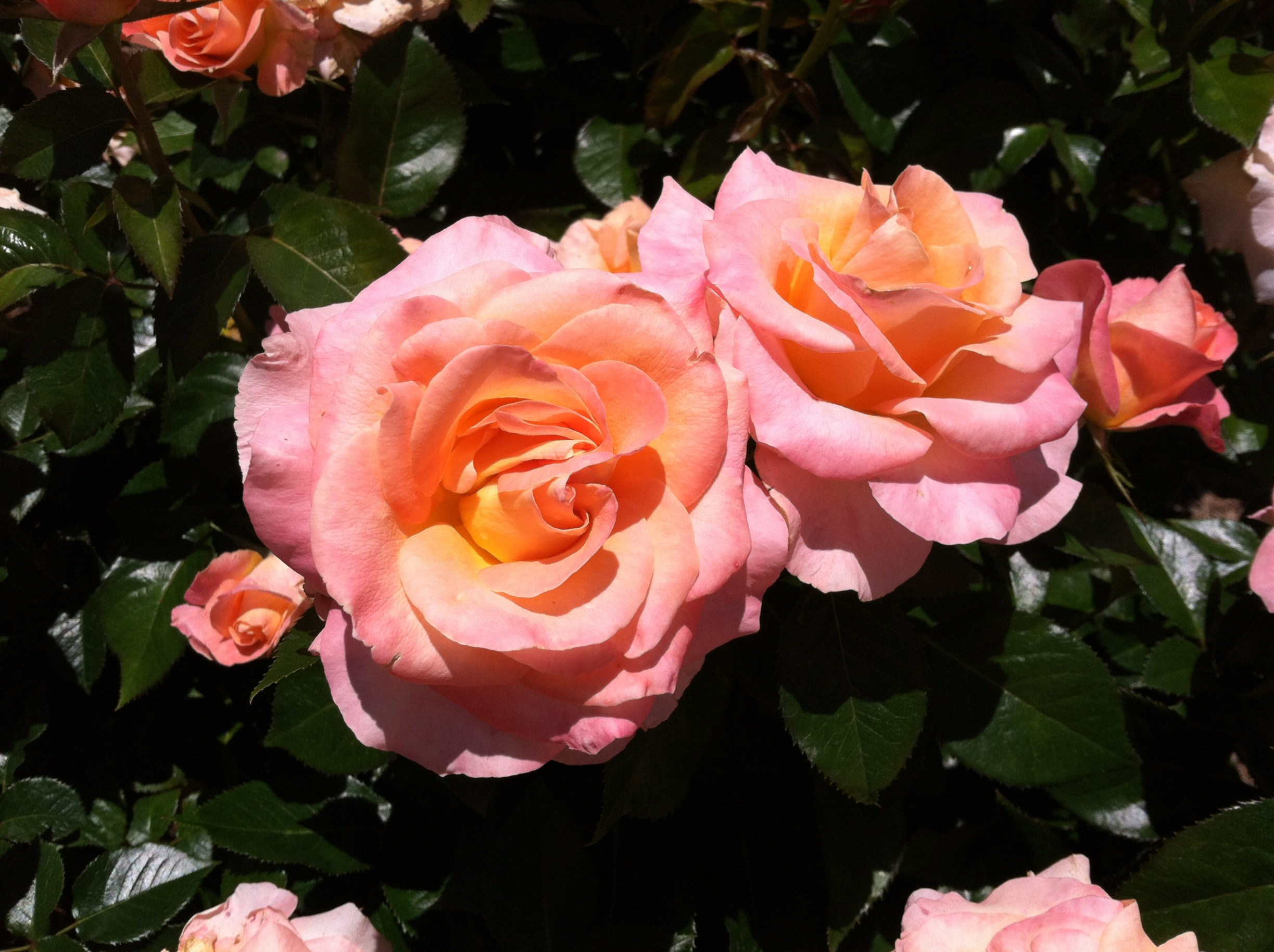One of the 3,000 rose plants in the garden. Photo © 2013 Alyssa Ford Morel.