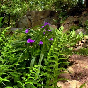 Spiderwort and Hay-scented Ferns in the Shade Garden Photo © 2014 Mary Free