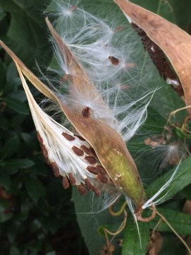Asclepias tuberosa (Butterfly-weed) seeds. Photo by Elaine L. Mills, 2017-08-31, private garden, Arlington, Virginia.