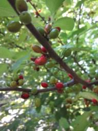 Close-up of Lindera benzoin (Spicebush) drupes. Photo © 2014 Elaine Mills