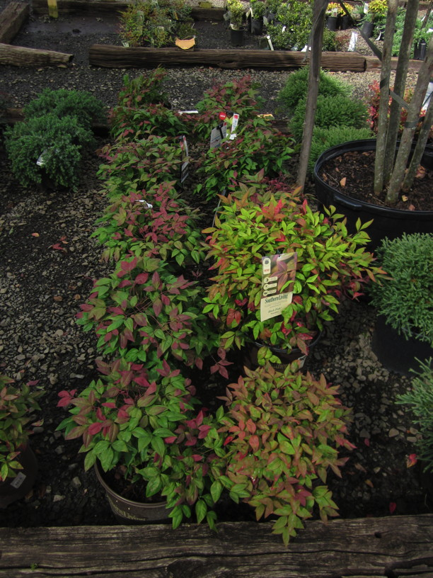 Problem Plant: Nandina in local nursery Photo © Elaine Mills