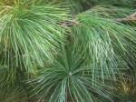 Pinus strobus close-up of needles. Photo © 2014 Elaine Mills