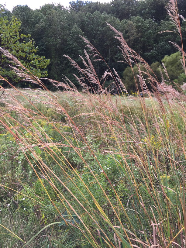 Sorghastrum nutans (Indian Grass) seedheads in September. Photo © 2017 Elaine Mills