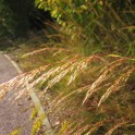 Sorghastrum nutans (Indian Grass) flower heads in September. Photo © 2014 Elaine Mills