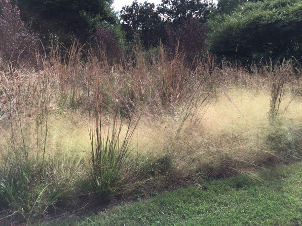 Sorghastrum nutans (Indian Grass) in fall meadow. Photo © 2018 Elaine Mills