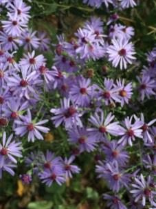 Symphyotrichum novae-angliae(New England Aster) flower details. Photo by Elaine L. Mills, 2017-09-30, Meadowlark Botanical Gardens.