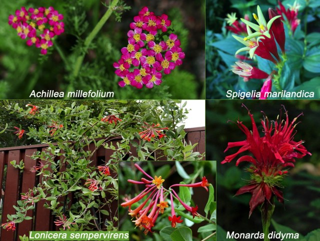 Red native flowers for Independence Day. Achillea millefolium, Spigelia marilandica, Lonicera sempervirens, Monarda didyman. Photos © 2019 Mary Free and Elaine Mills (Spigelia marilandica)